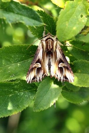 A.polyodon