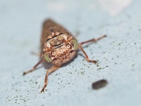 Acericerus female