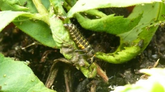 Anatis. larva
