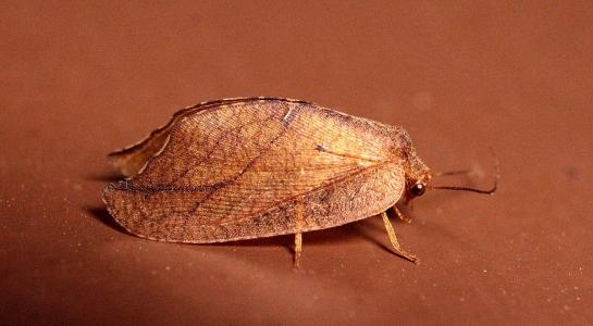 D.phalaenoides