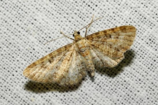E.subumbrata