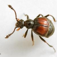 Staphylinidae - Kusakowate