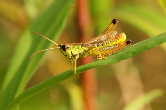 Ps.paralellus male
