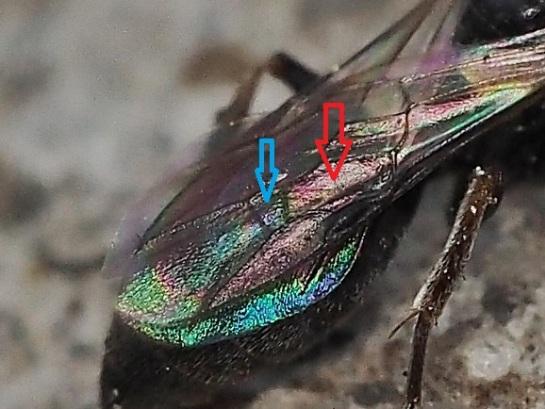 Diodontus wing venation