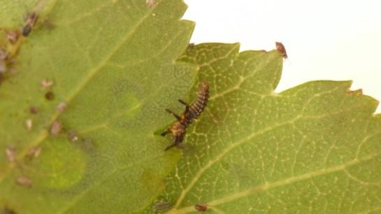 Ad bipunctata larva