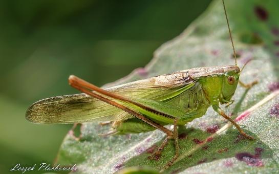 B.bicolor