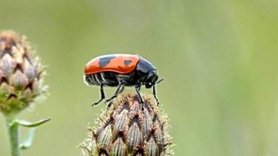 C.laeviuscula