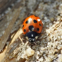 Coccinellidae - Biedronkowate