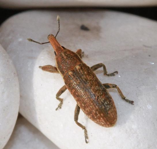 L.punctiventris