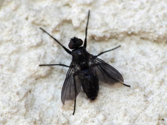 M. roralis female