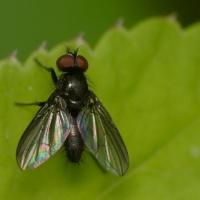 Calliphoridae - Plujkowate wraz z Rhiniidae