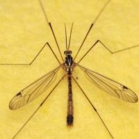 Tipulidae - Koziułkowate