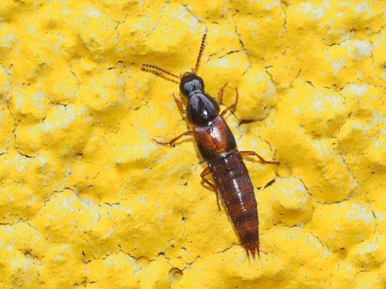 Q.scitus