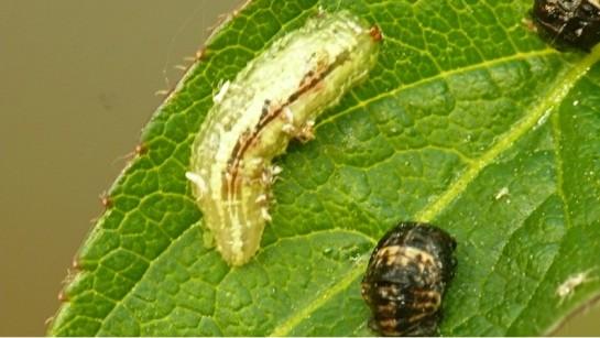 Syrphus larva.