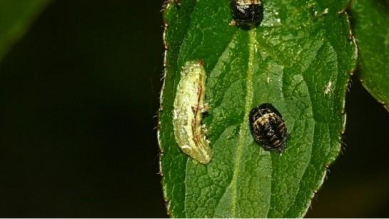 Syrphus larva