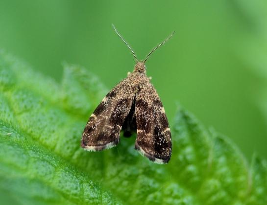A.fabriciana