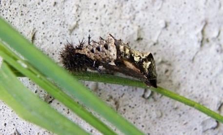 A.levana pupa