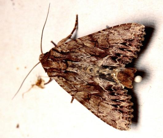 A.monoglypha male