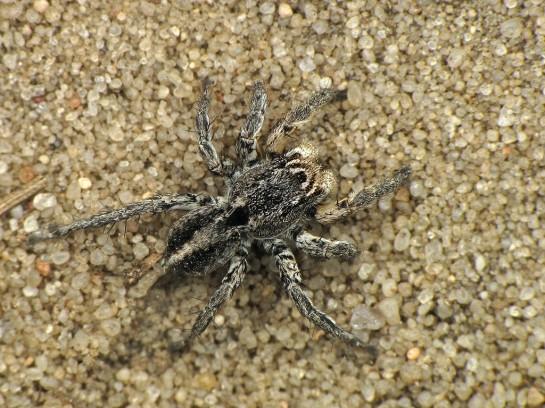 A.v-insignatus