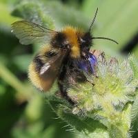 Apidae - Pszczołowate