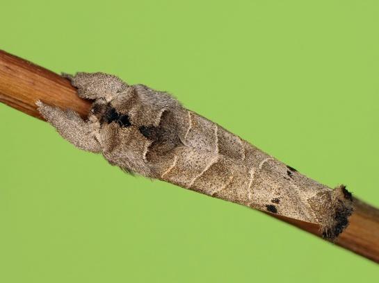 C anachoreta