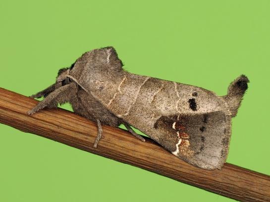 C.anachoreta