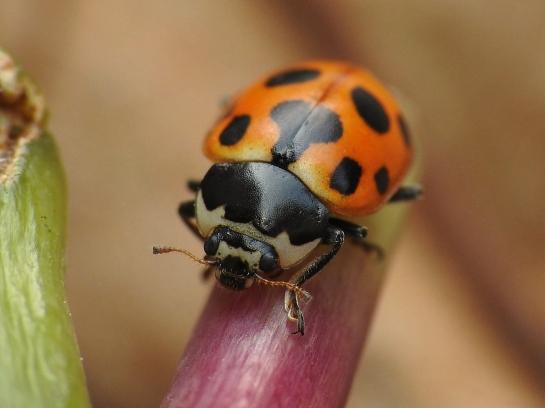 C.notata