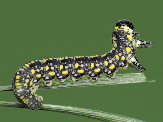 D.similis