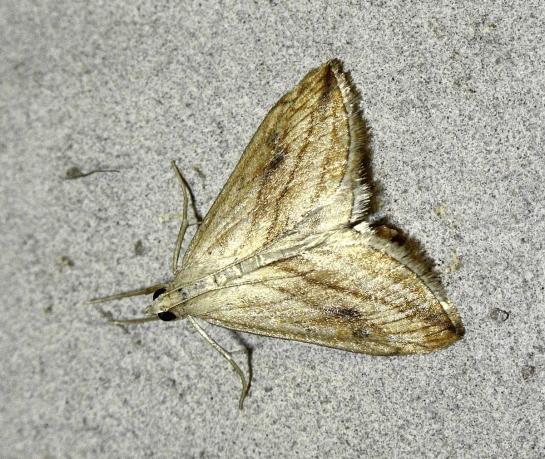E.forficalis