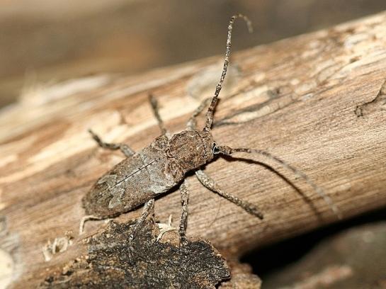 N.picticornis