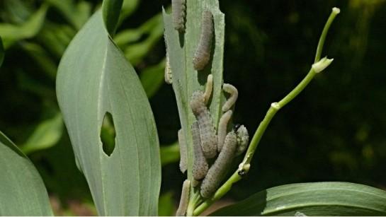 Phymatocera
