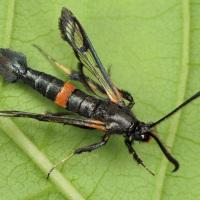 Synanthedon culiciformis - Przeziernik komarowiec