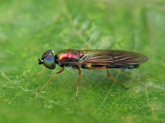 S.iridatus