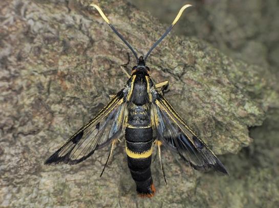S.scoliaeformis