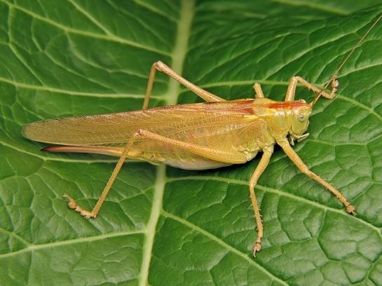 t.viridissima.jpg