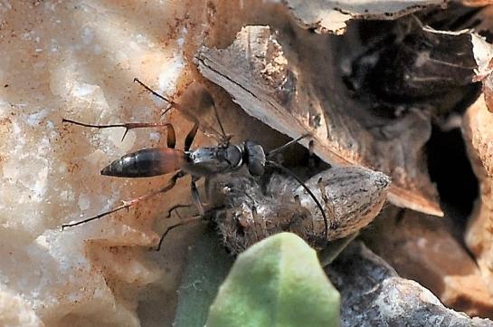 A.nubecula