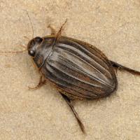 Acilius sulcatus - Toniak żeberkowany