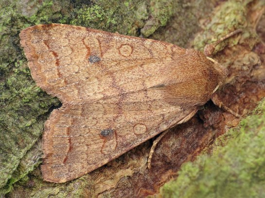Agr.circellaris
