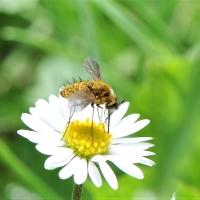 Bombyliidae - Bujankowate