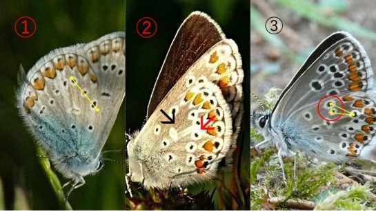 Lycaenidae wings