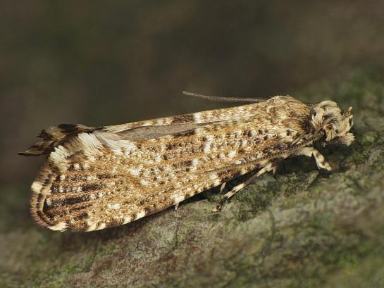 M.choragella