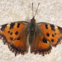 Nymphalidae - Rusałkowate