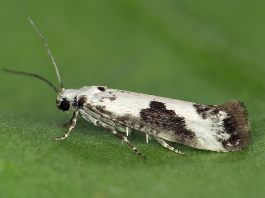 P.fraxinella