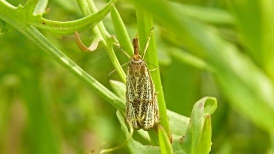 T.chrysonuchella