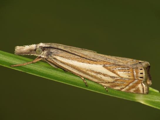 cr-lathoniellus
