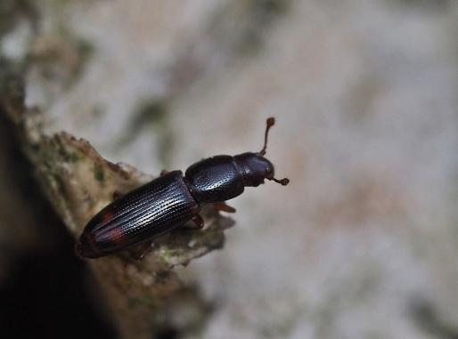 R.bipustulatus